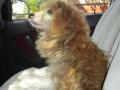 Dido auf dem Weg zum Tierartzt 20.8.2016 1