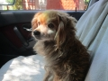 Dido auf dem Weg zum Tierartzt 20.8.2016 2